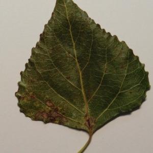 Photographie n°151891 du taxon Populus nigra L.