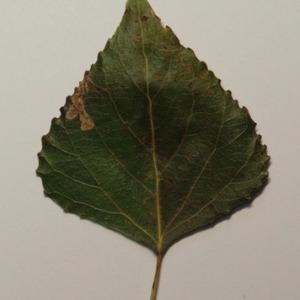 Photographie n°151893 du taxon Populus nigra L.