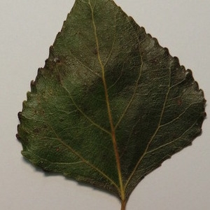 Photographie n°151894 du taxon Populus nigra L.