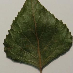 Photographie n°151895 du taxon Populus nigra L.