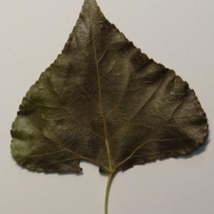 Photographie n°151896 du taxon Populus nigra L.