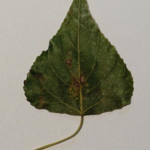 Photographie n°151898 du taxon Populus nigra L.