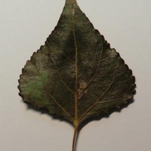 Photographie n°151899 du taxon Populus nigra L.