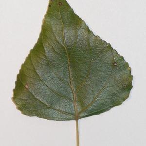 Photographie n°151902 du taxon Populus nigra L.