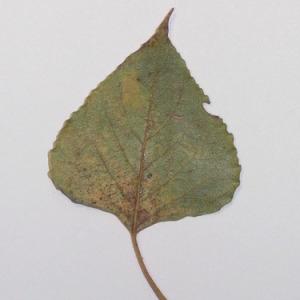 Photographie n°151906 du taxon Populus nigra L.