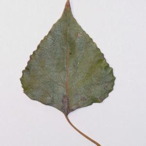 Photographie n°151907 du taxon Populus nigra L.