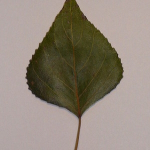 Photographie n°151908 du taxon Populus nigra L.