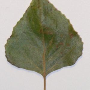 Photographie n°151909 du taxon Populus nigra L.
