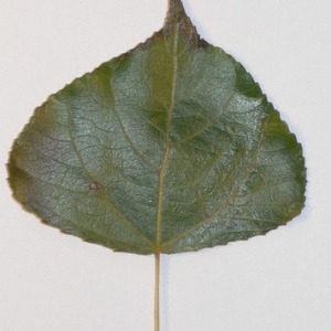 Photographie n°151910 du taxon Populus nigra L.