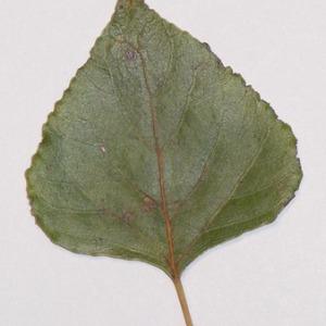Photographie n°151911 du taxon Populus nigra L.