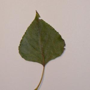 Photographie n°151912 du taxon Populus nigra L.