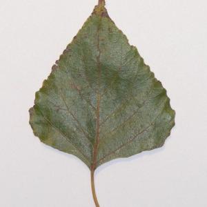 Photographie n°151916 du taxon Populus nigra L.