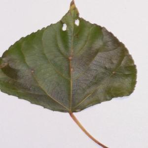 Photographie n°151917 du taxon Populus nigra L.
