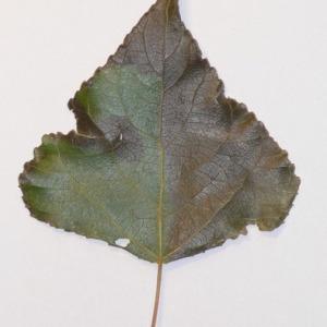 Photographie n°151919 du taxon Populus nigra L.