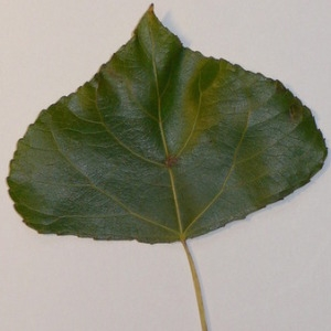 Photographie n°151922 du taxon Populus nigra L.