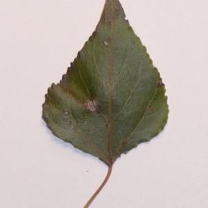 Photographie n°151924 du taxon Populus nigra L.