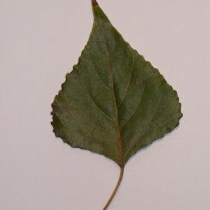Photographie n°151925 du taxon Populus nigra L.