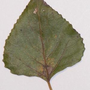 Photographie n°151928 du taxon Populus nigra L.