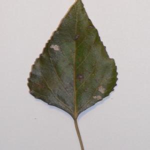 Photographie n°151930 du taxon Populus nigra L.