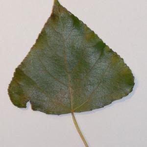 Photographie n°151933 du taxon Populus nigra L.