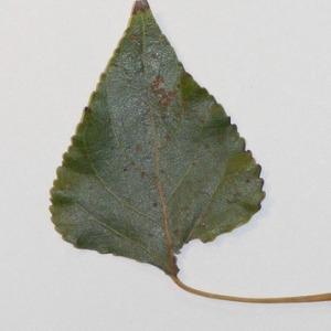 Photographie n°151934 du taxon Populus nigra L.