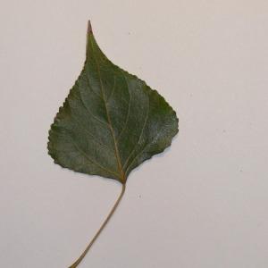 Photographie n°151935 du taxon Populus nigra L.