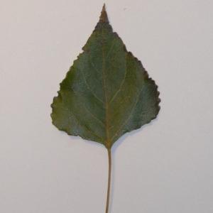 Photographie n°151936 du taxon Populus nigra L.