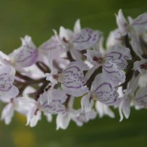 Dactylorhiza maculata (L.) Soó subsp. maculata (Dactylorhize tacheté)
