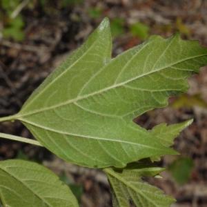 - Viburnum opulus L.