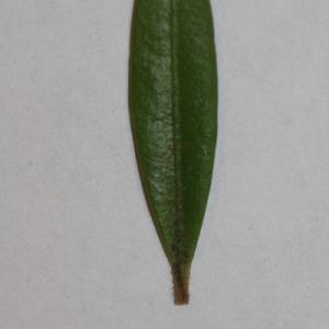 Photographie n°152824 du taxon Buxus sempervirens L. [1753]