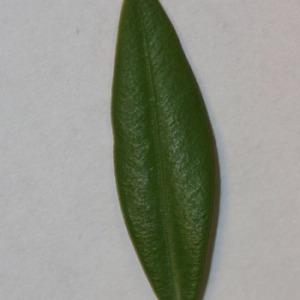 Photographie n°152830 du taxon Buxus sempervirens L.