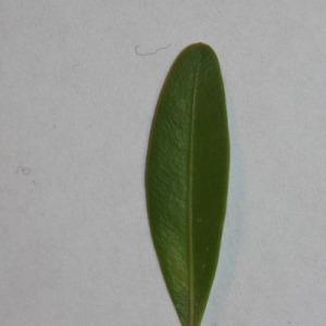 Photographie n°152831 du taxon Buxus sempervirens L.