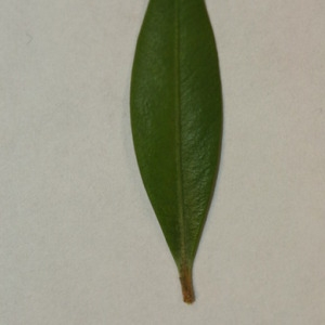 Photographie n°152832 du taxon Buxus sempervirens L. [1753]