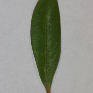 Photographie n°152835 du taxon Buxus sempervirens L.