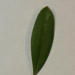 Photographie n°152838 du taxon Buxus sempervirens L. [1753]