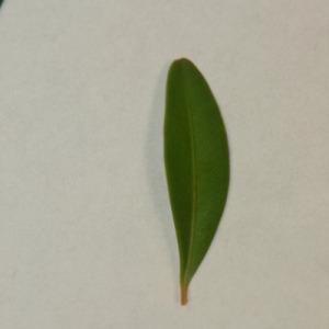 Photographie n°152839 du taxon Buxus sempervirens L. [1753]