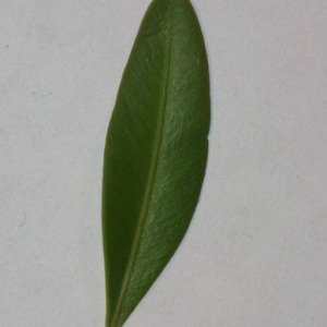 Photographie n°152842 du taxon Buxus sempervirens L. [1753]