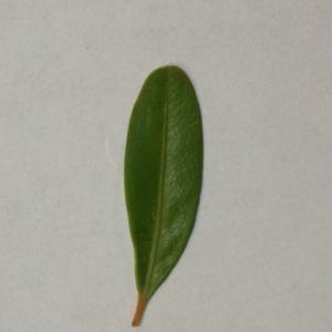 Photographie n°152846 du taxon Buxus sempervirens L. [1753]
