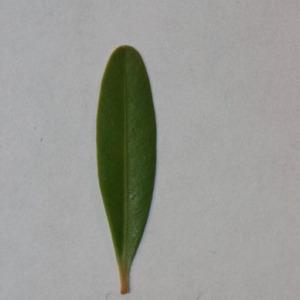 Photographie n°152849 du taxon Buxus sempervirens L.