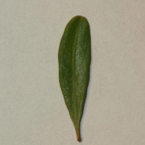 Photographie n°152852 du taxon Buxus sempervirens L.