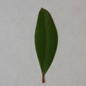Photographie n°152855 du taxon Buxus sempervirens L. [1753]