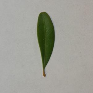 Photographie n°152857 du taxon Buxus sempervirens L. [1753]