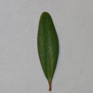 Photographie n°152859 du taxon Buxus sempervirens L.