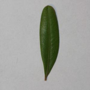 Photographie n°152860 du taxon Buxus sempervirens L. [1753]