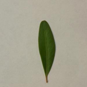 Photographie n°152861 du taxon Buxus sempervirens L. [1753]