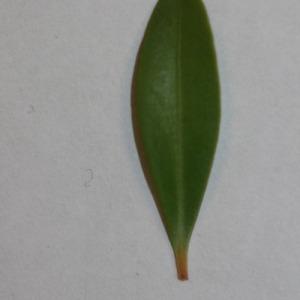Photographie n°152868 du taxon Buxus sempervirens L. [1753]