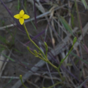 Photographie n°152927 du taxon Cicendia filiformis (L.) Delarbre [1800]