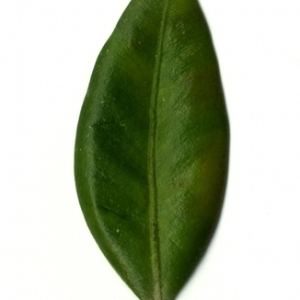 Photographie n°153025 du taxon Buxus sempervirens L. [1753]