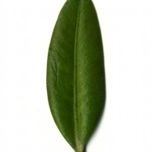 Photographie n°153027 du taxon Buxus sempervirens L. [1753]