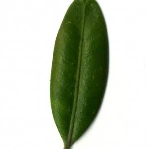 Photographie n°153032 du taxon Buxus sempervirens L. [1753]